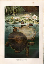 1892 Soft shell Turtle Antique Chromolithograph Print BREHMS