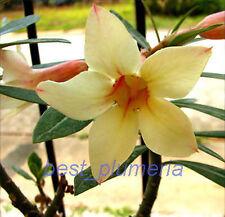 """Adenium Obesum """"Yellow_Mahamongkol"""" Fresh 50 Seeds"""