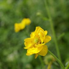 Geum-LADY stratheden - 250 graines