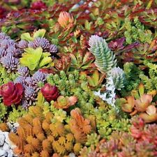 Succulent seeds - SEDUM MANY SPECIES MIXED - Pcak of 20 Seeds