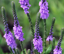 VERVAIN HOARY Verbena Stricta - 500 Seeds