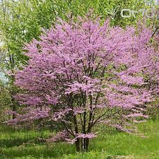 NORTHERN REDBUD (Cercis Canadensis) 15+EXTRA seeds (#19)