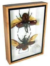 2 Xylotrupes gideon Real Butterfly Insect Taxidermy Display Framed Box FS gpasy
