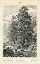 Arve Zirbelkiefer Baum Zapfen Trieb Originale über 100 Jahre alt Bxz & Text
