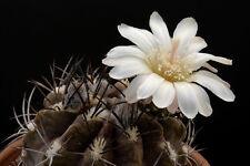 Dies ist ein wunderschöner kleiner Zwergkaktus mit toller, weißer, großer Blüte.