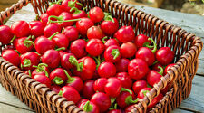 CHILI PEPPER RED CHERRY - HOT PEPPER  / Finger Hots 150 Seeds - Top Quality