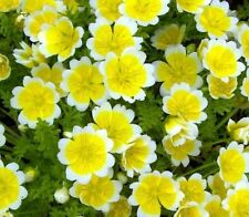 Flower seed - POACHED EGG PLANT - Limnanthes douglasii