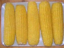 1 lb Incredible sweet corn  new seed for 2016 season Non-Gmo Hybrid