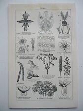 stampa antica old print PIANTE FIORI CAMOMILLA - GERMANY 1923