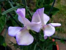 "Pack of 10 ""Royal Family Lavender"" Sweet Pea Seeds NEW!"