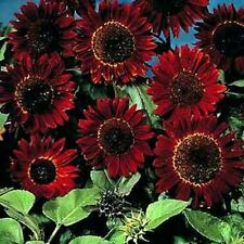 CHOCOLATE SUNFLOWER SEEDS - RARE VARIETY - Annual - Great Potted Plant- 10 Seeds