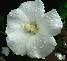 Hardy Hibiscus Seeds - WINTER WHITE - Perennial Flowering  Shrub - 10 Seeds