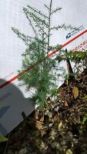 "EVERGREEN SOUTHERN RED CEDAR REAL LIVE HEALTHY TREE PLANT SEEDLING 12"" W/ ROOTS"