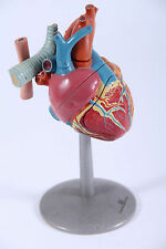 anatomic model of the human heart luctor baarn