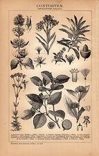 1898 Antique Lithograph Print German Brockhaus CONTORTEN PLANTS OLEANDER ÖLBAUM