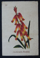 Lachenalia Pendula SOUTH AFRICAN FLOWERS  1st Series  B A T 1922 Silk