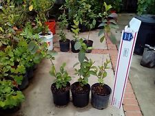 White Guava Fruit Plant Tree, 5 feet tall in 3 gallons pot, $40/Each.