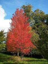 ACER Rubrum-Scarlet rosso in autunno, 25 SEMI