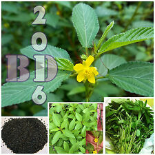 Red Jute seeds, Saluyot, Molokhia Egyptian spinach - 700pcs seeds Vegetables_130
