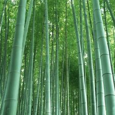 Fresh Giant Moso Bamboo 60 Pcs Seeds For Home Garden Free Shipping