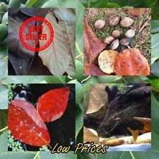 50 Terminalia Catappa Seeds, Tropical Almond, Leaves for Aquarium, Indian Almond