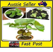 100Pcs Mini Kiwi Fruit Seeds Potted Plants Mini Tree Rich Fruit Trees Kiwi Seed