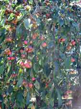 JAPANESE WEEPING CRAB APPLE TREE **3 FT TALL SHOWY SPRING BLOOMS FRUIT TRESS