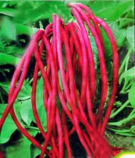 Red cowpea Vegetable seed 15 seeds string pole sasage bean cow pea garden patio