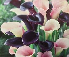 Pack x3 Calla Lily Bulbs 'Elegance' Pink/Black  Mix WPC Prins Bulbs & Tubers
