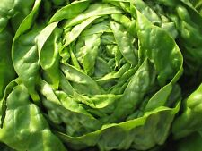 Lettuce,Butter-crunch Lettuce Seeds ORGANIC Non GMO SEED (2000 Seeds)Fresh salad