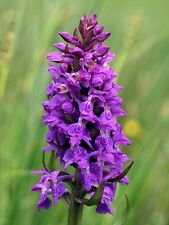 Orchid Dactylorhiza majalis - Western Marsh Orchid long bloosoming orchid tuber
