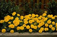 Marigold Seeds - French Janie Bright Yellow Seed