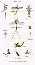 """Shaw's General Zoology (Insects) - """"Mayfly - Vulgata"""" - Copper Eng. - 1805"""