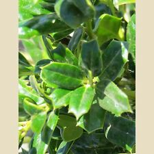 "20 Burfordii Nana Holly seeds - Ilex cornuta "" burfordii """
