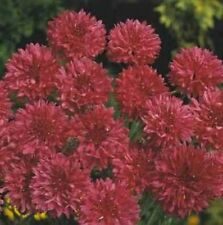 Bachelor Button- Cornflower - Red- 100 Seeds - 50 % off sale