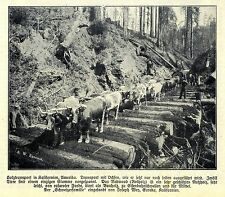 Redwood Ochsen-Holztransport Eureka Kalifornien Historische Aufnahme von 1908