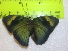 SALE TOG17 A+/ A  Euphaedra  Forester Papilio