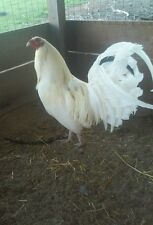 7 White Kelso Gamefowl Hatching Eggs