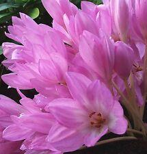 SEEDS 15 graines COLCHIQUE D'AUTOMNE (Colchicum Automnale) NAKED LADIES SEMILLA