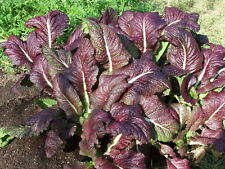 1500 RED GIANT MUSTARD Ornamental Japanese Greens Herb Vegetable Brassica Seeds