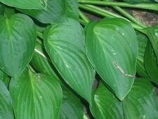 HOSTA SERENDIPITY - 20 SEEDS