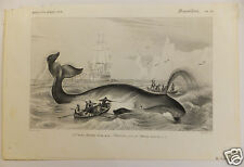 Baleine franche whale D'Orbigny Histoire naturelle 19ème siècle