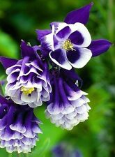 25+ AQUILEGIA HYBRIDA DOUBLE PLEAT BLUE AND WHITE FLOWER SEEDS / PERENNIAL