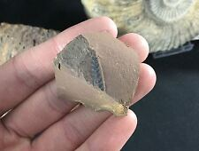 Coniopteris Plant Fossil - Yorkshire, Saltwick Formation, Jurassic Age