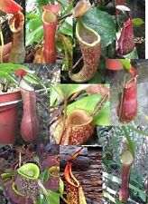 Nepenthes seeds for beginner- Mix seeds (MIX species&color clone)
