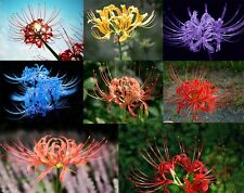 5Pcs Bulbs Radiata Spider lily Lycoris Bulb Seeds Home Garden Flower Decor HK44