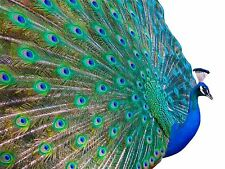 ART PRINT POSTER PHOTO DT PRETTY PEACOCK COOL BIRD LFMP0370