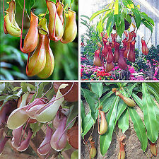 20pcs Rare Pitcher Plant Seeds Foliage Nepenthes Carnivorous Shades Flower Seed