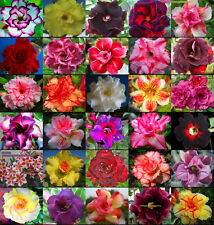 """ADENIUM """"Identified By Color 30 Type"""" 1,100 Seeds RARE!"""
