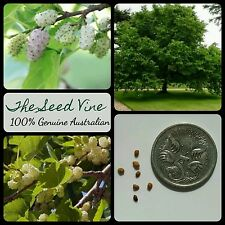 50+ WHITE MULBERRY TREE SEEDS (Morus alba) Edible Fruit Silkworm Shade Popular